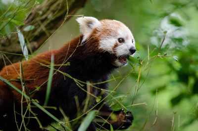 animal-cute-plants-red-panda